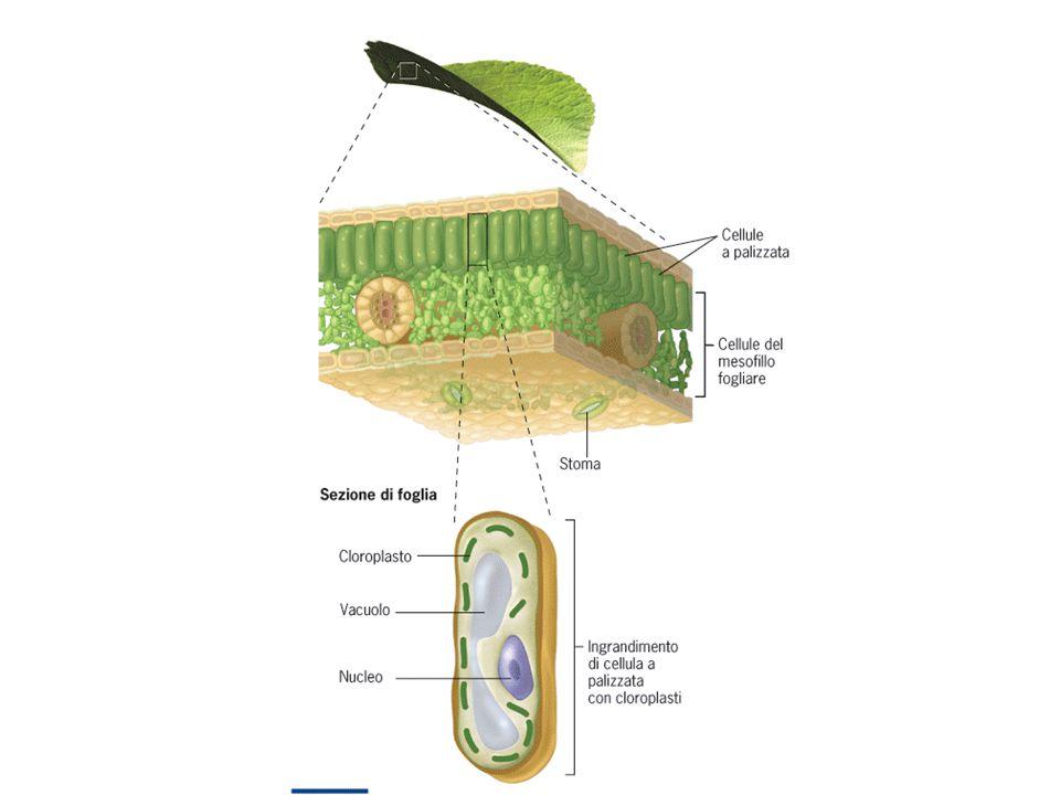 Piante C 4 Le piante C 4 generano un composto a 4 atomi di carbonio nel primo passaggio di fissazione del carbonio Via di Hatch-Slack le foglie hanno un'organizzazione a 2 strati cellulari  Cellule del mesofillo CO 2 entra per mezzo degli stomi e si forma il composto a 4 atomi di carbonio (PEP carbossilasi non promuove la fotorespirazine)  Cellule della guaina del fascio Il composto a 4 atomi di carbonio trasferito, rappresenta una fornitura costante di CO 2