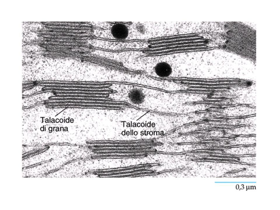 Piante CAM Alcune piante C 4 separano nel tempo i due processi Metabolismo dell'acido crassulaceo Le piante CAM aprono I loro stomi durante la notte CO 2 entra ed è convertita in malato Gli stomi si chiudono durante il giorno per conservare acqua Malato è scisso in CO 2 per iniziare il ciclo di Calvin