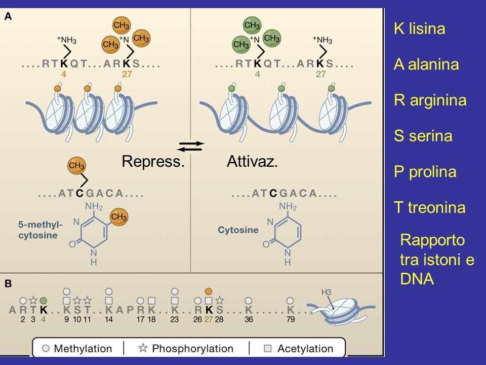 Figura 1 K lisina A alanina R arginina T treonina S serina P prolina Rapporto tra istoni e DNA Repress.Attivaz.