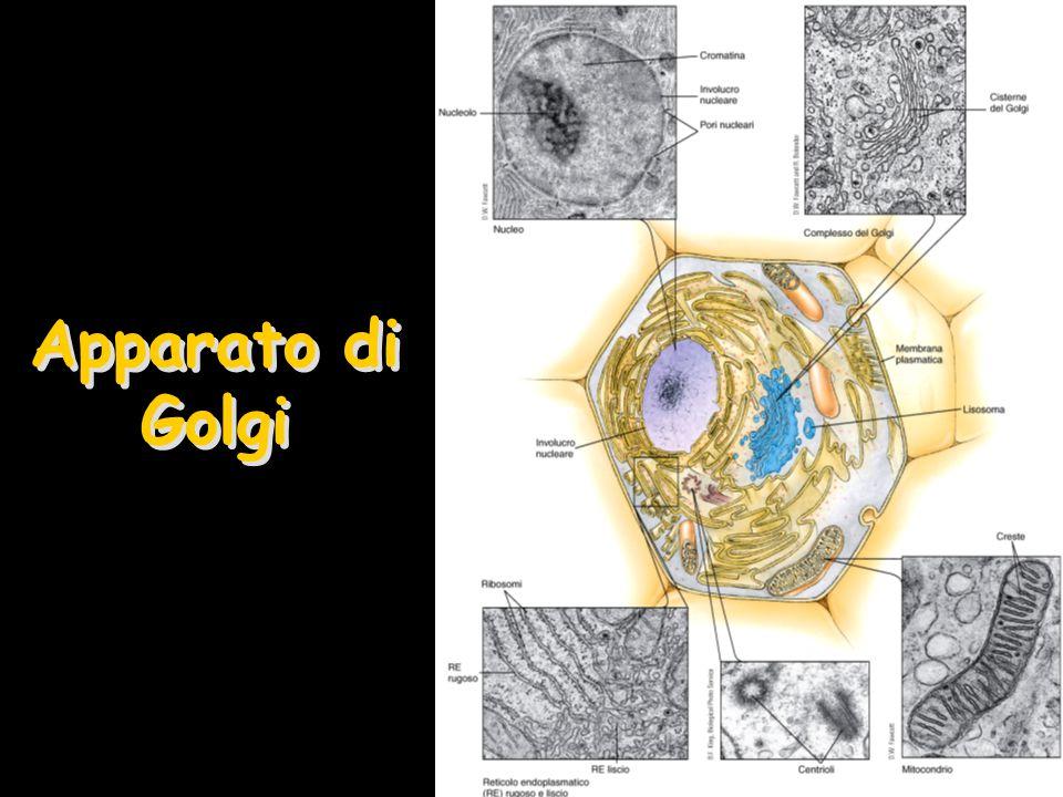 Funzioni dell'Apparato di Golgi Stazione di transito e modificazione della cellulaStazione di transito e modificazione della cellula –Modificazioni post-traduzionali Glicosilazione e Solfonazione Proteoglicani –Assemblaggio dei Proteoglicani dell'ECM Ricchi di ponti disolfuro, per la loro stabilità –Glicoproteine Glicolipidi –Glicoproteine e Glicolipidi Prodotti primari che attraversano l'apparato di Golgi