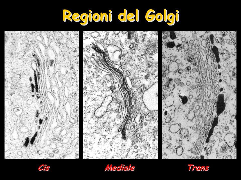 Cellule Caliciformi dell'intestino MucoMuco –Glicoproteine assemblate ed impacchettate nel Golgi –Rivestimento protettivo in condizioni estreme