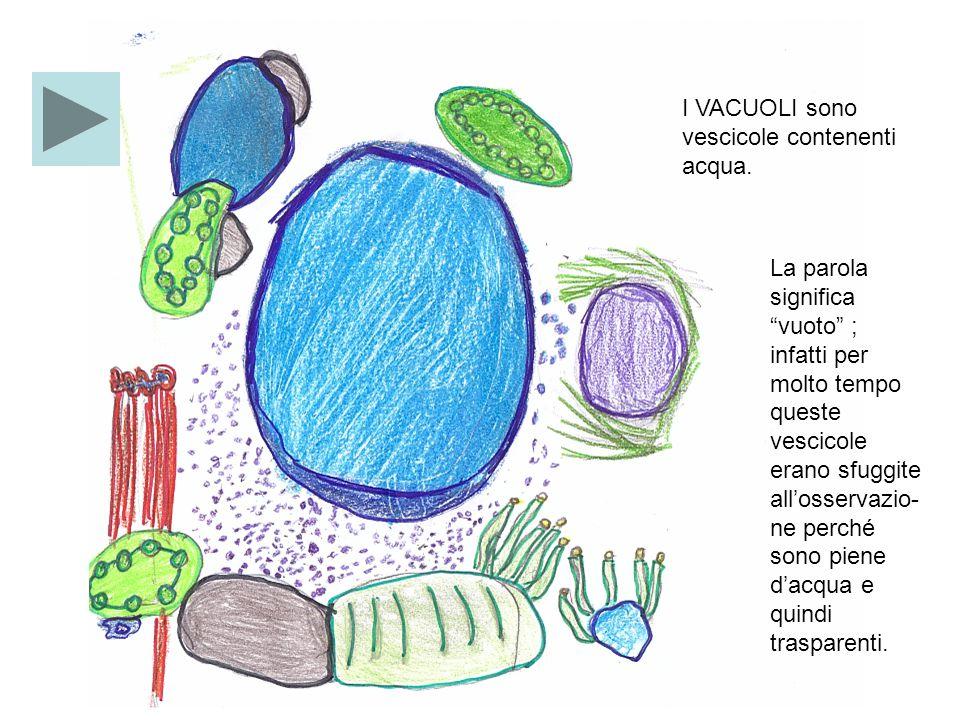 IL VACUOLO DELLA CELLULA VEGETALE