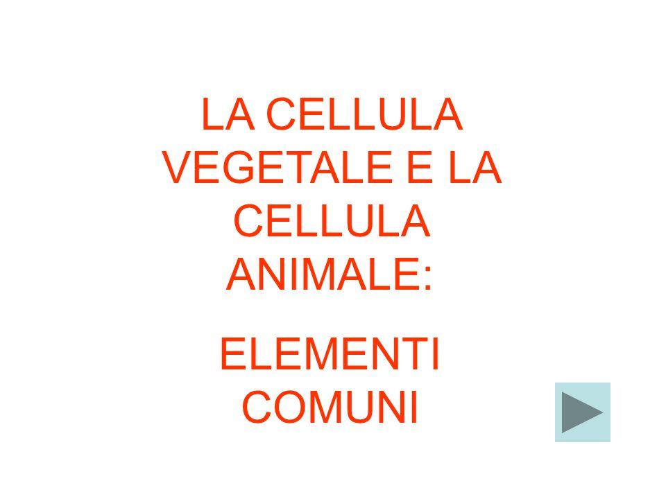 LA CELLULA VEGETALE SI DISTINGUE DA QUELLA ANIMALE PER: LA PARETE CELLULARE PIU' SPESSA LA PRESENZA DEI CLOROPLASTICLOROPLASTI I VACUOLI PIU' GRANDI.VACUOLI I DUE TIPI DI CELLULA HANNO ELEMENTI COMUNI