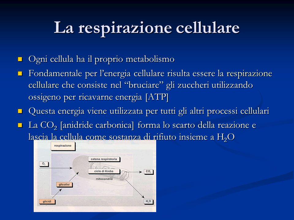 La respirazione cellulare Ogni cellula ha il proprio metabolismo Fondamentale per l'energia cellulare risulta essere la respirazione cellulare che consiste nel bruciare gli zuccheri utilizzando ossigeno per ricavarne energia [ATP] Questa energia viene utilizzata per tutti gli altri processi cellulari La CO2 [anidride carbonica] forma lo scarto della reazione e lascia la cellula come sostanza di rifiuto insieme a H2O