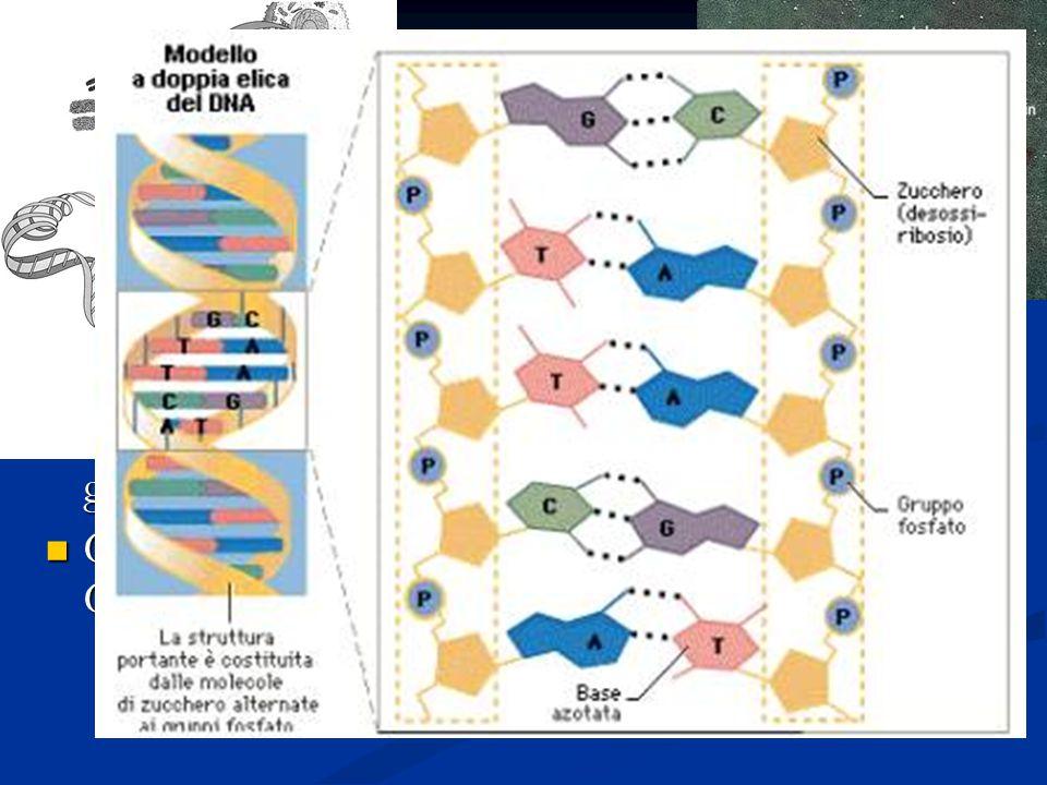 I cromosomi Quando la cromatina si avvolge da origine a strutture caratteristiche dette cromosomi Quando la cromatina si avvolge da origine a strutture caratteristiche dette cromosomi Sono costituiti da una lunga sequenza di nucleotidi [L Adenina, la Timina, la Guanina e la Citosina ] Sono costituiti da una lunga sequenza di nucleotidi [L Adenina, la Timina, la Guanina e la Citosina ] Formano il codice che contiene l'informazione genetica Formano il codice che contiene l'informazione genetica C'è una perfetta corrispondenza i nucleotidi [A-T; C-G] e questo sta alla base del codice genetico C'è una perfetta corrispondenza i nucleotidi [A-T; C-G] e questo sta alla base del codice genetico