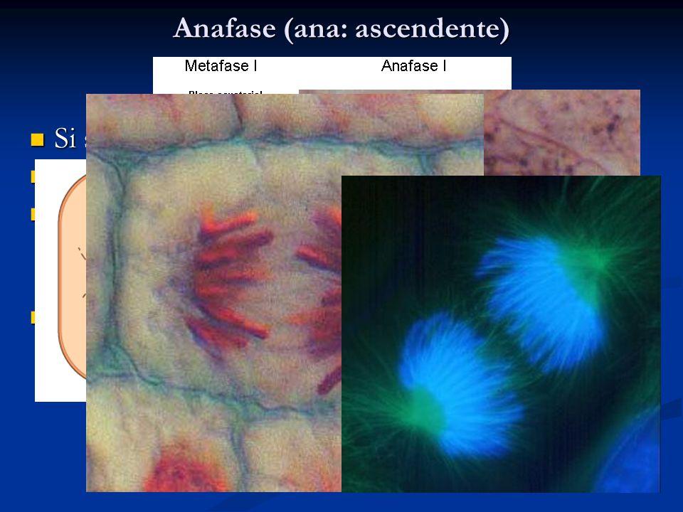 Anafase (ana: ascendente) Si separano i centrometri Si separano i centrometri Ciascun cromosoma migra al polo della cellula Ciascun cromosoma migra al polo della cellula Il fuso mitoico è la struttura che sposta i cromosomi ai poli della cellula dove si riformano i due nuclei Il fuso mitoico è la struttura che sposta i cromosomi ai poli della cellula dove si riformano i due nuclei Il movimento si realizza grazie al processo di che accorcia i microtubuli Il movimento si realizza grazie al processo di che accorcia i microtubuli
