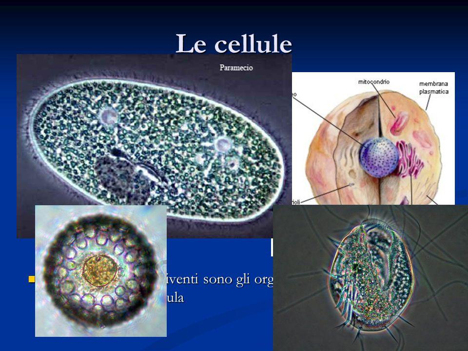 Le cellule Con l'invenzione del microscopio l'uomo ha potuto esplorare il mondo degli oggetti molto piccoli Con l'invenzione del microscopio l'uomo ha potuto esplorare il mondo degli oggetti molto piccoli Questo ha permesso di sviluppare la Teoria Cellulare: tutti gli esseri viventi sono formati da cellule Questo ha permesso di sviluppare la Teoria Cellulare: tutti gli esseri viventi sono formati da cellule La cellula è l'unità fondamentale degli esseri viventi La cellula è l'unità fondamentale degli esseri viventi In generale essa è formata da: In generale essa è formata da: Una membrana esterna Una membrana esterna Un citoplasma Un citoplasma Un nucleo Un nucleo I più piccoli esseri viventi sono gli organismi unicellulari formati cioè da un unica cellula I più piccoli esseri viventi sono gli organismi unicellulari formati cioè da un unica cellula