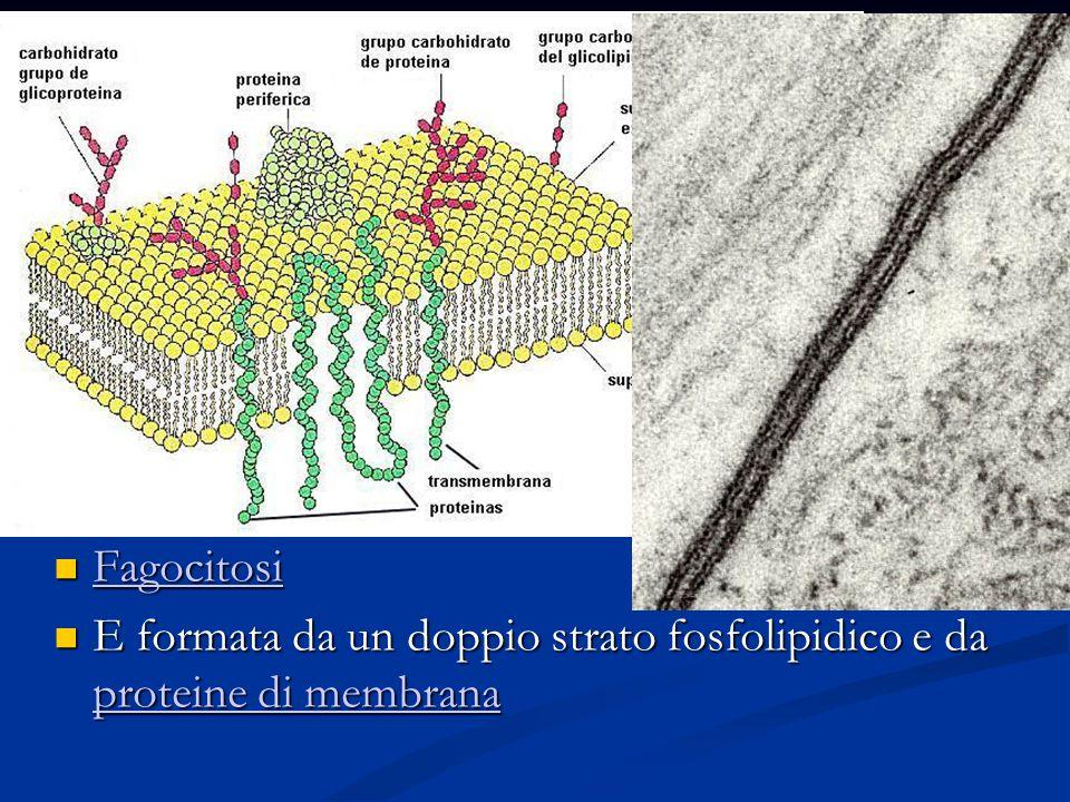 La membrana cellulare La membrana cellulare circonda la cellula e la isola dell ambiente esterno Regola gli scambi fra la cellula e l ambiente esterno che possono avvenire per: Diffusione P P rrrr oooo tttt eeee iiii nnnn eeee d d d d iiii t t t t rrrr aaaa ssss pppp oooo rrrr tttt oooo F F aaaa gggg oooo cccc iiii tttt oooo ssss iiii E formata da un doppio strato fosfolipidico e da pppp rrrr oooo tttt eeee iiii nnnn eeee d d d d iiii m m m m eeee mmmm bbbb rrrr aaaa nnnn aaaa