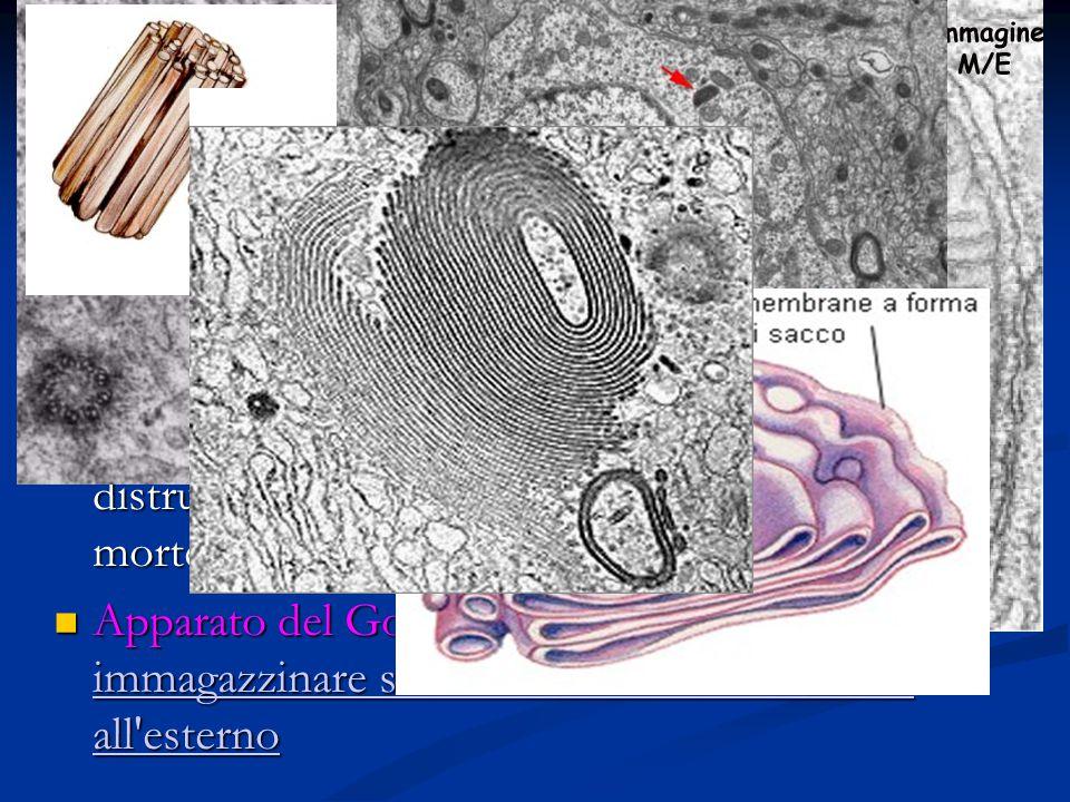 Centrioli: organuli a forma cilindrica che intervengono nella riproduzione della cellula Centrioli: organuli a forma cilindrica che intervengono nella riproduzione della cellula Mitocondri: organuli a forma di fagiolo al cui interno avvengono le reazioni di respirazione cellulare Mitocondri: organuli a forma di fagiolo al cui interno avvengono le reazioni di respirazione cellulare Lisosomi: vescicole destinate alla distruzione di corpi estranei entrati nella cellula e alla distruzione di organuli deteriorati e di cellule morte Lisosomi: vescicole destinate alla distruzione di corpi estranei entrati nella cellula e alla distruzione di organuli deteriorati e di cellule morte Apparato del Golgi: pile di sacculi destinati ad immagazzinare sostanze che la cellula riversa all esterno Apparato del Golgi: pile di sacculi destinati ad immagazzinare sostanze che la cellula riversa all esterno immagazzinare sostanze che la cellula riversa all esterno immagazzinare sostanze che la cellula riversa all esterno