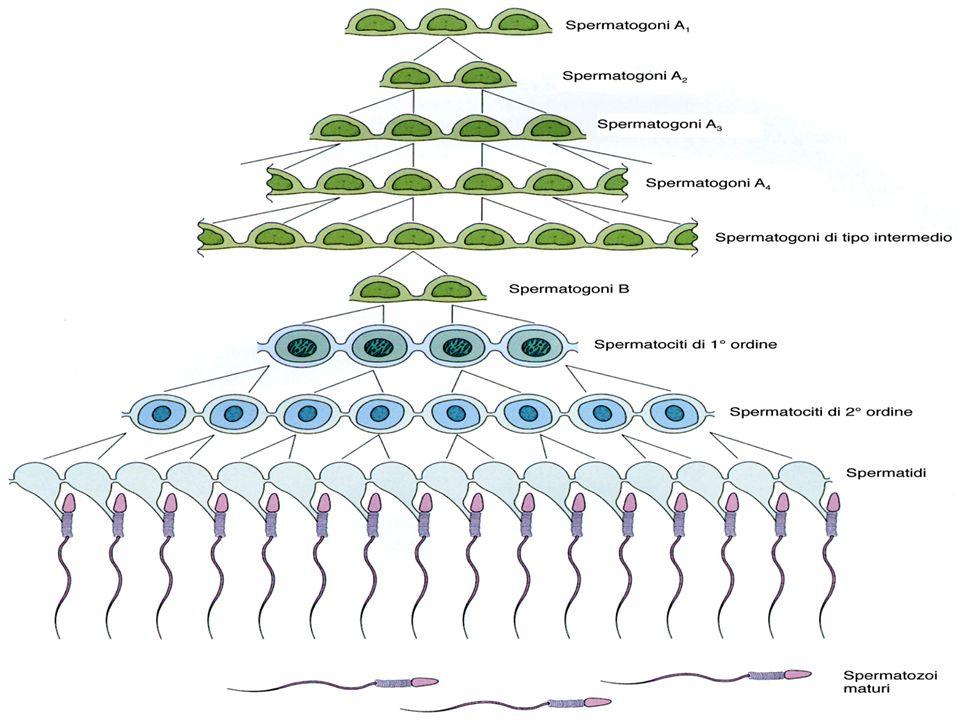 SASASASA SBSBSBSB S1S1S1S1 S3S3 S4S4 St Cellule del SertoliM Miofibroblasti fusiformi