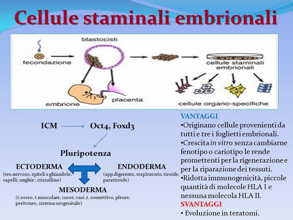 Cellule staminali embrionali VANTAGGI Originano cellule provenienti da tutti e tre i foglietti embrionali. Crescita in vitro senza cambiarne fenotipo