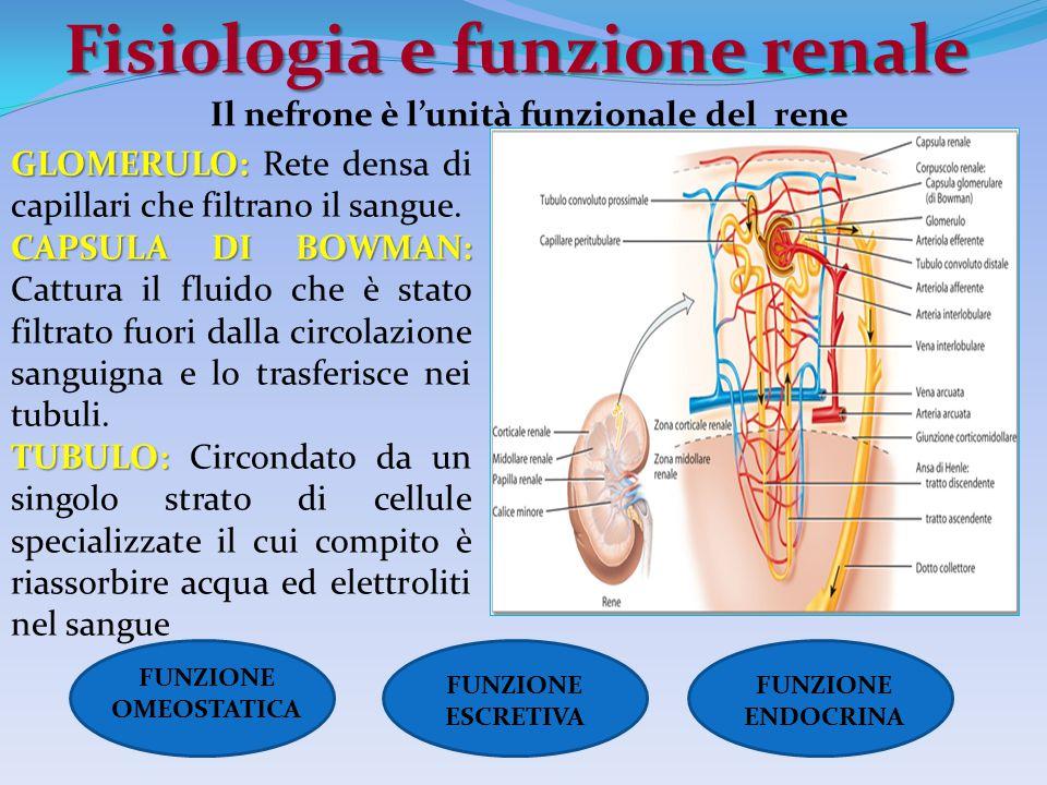 Fisiologia e funzione renale GLOMERULO: GLOMERULO: Rete densa di capillari che filtrano il sangue. CAPSULA DI BOWMAN: CAPSULA DI BOWMAN: Cattura il fl