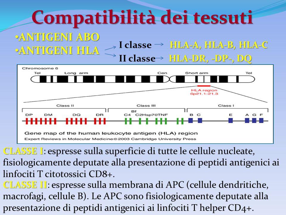 Compatibilità dei tessuti CLASSE I CLASSE I: espresse sulla superficie di tutte le cellule nucleate, fisiologicamente deputate alla presentazione di p