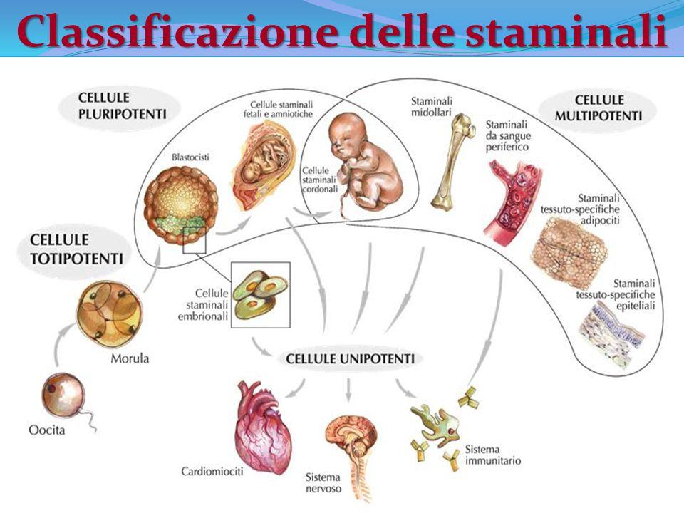 Cellule staminali embrionali VANTAGGI Originano cellule provenienti da tutti e tre i foglietti embrionali.