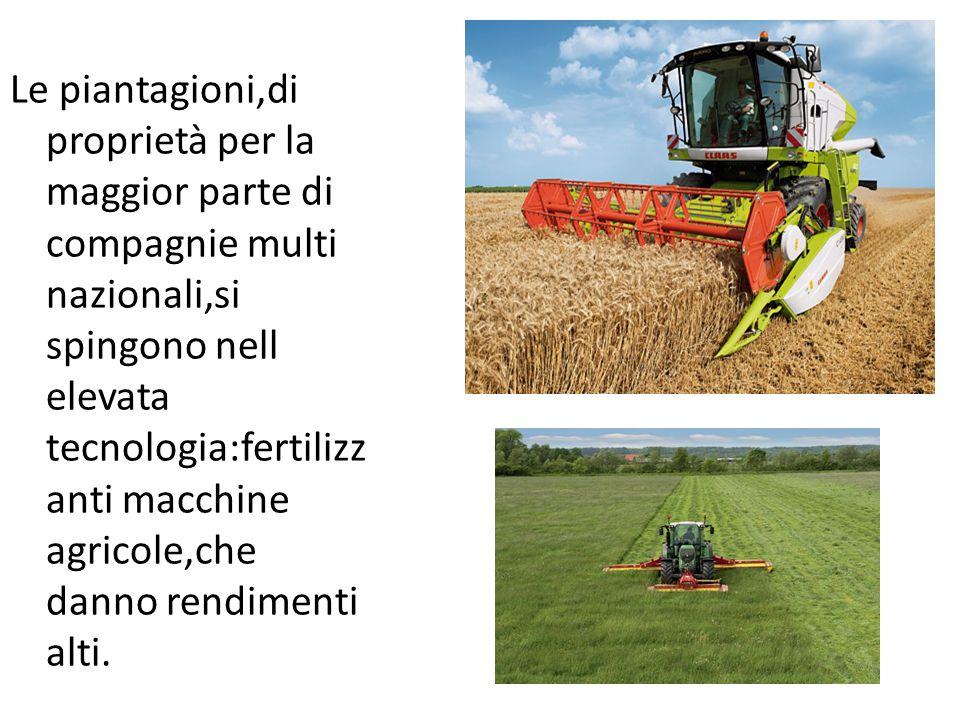 Le piantagioni,di proprietà per la maggior parte di compagnie multi nazionali,si spingono nell elevata tecnologia:fertilizz anti macchine agricole,che