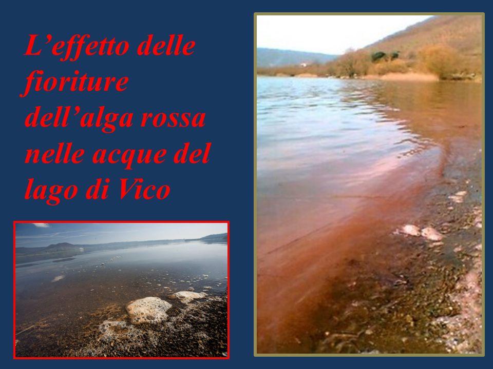 L'effetto delle fioriture dell'alga rossa nelle acque del lago di Vico