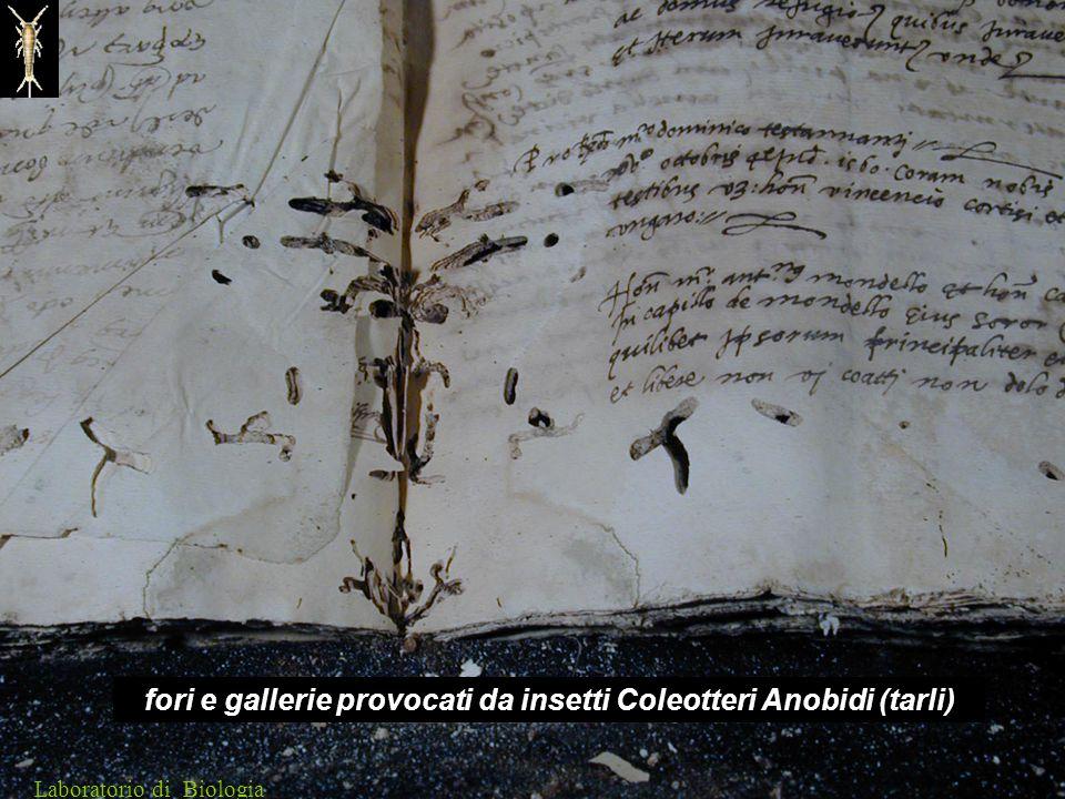 fori e gallerie provocati da insetti Coleotteri Anobidi (tarli) Laboratorio di Biologia