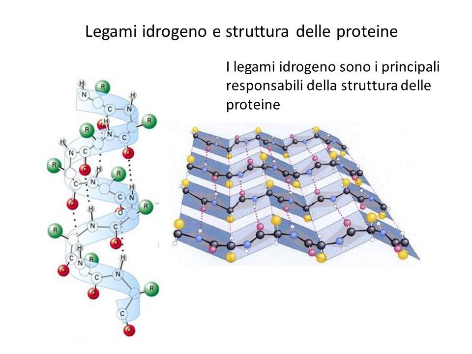 Legami idrogeno e struttura delle proteine I legami idrogeno sono i principali responsabili della struttura delle proteine
