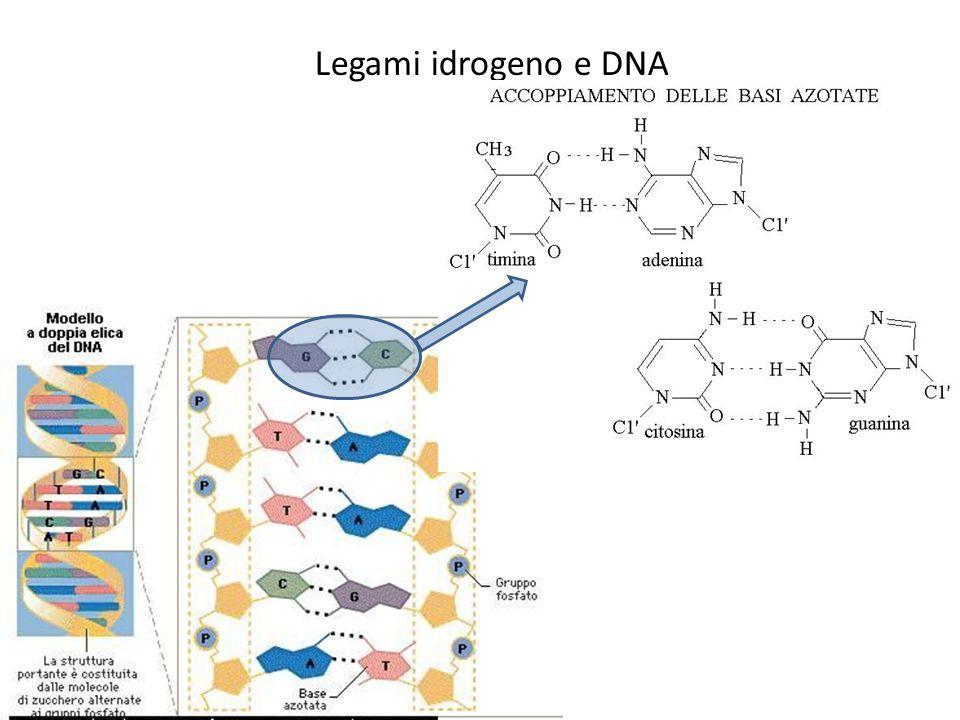 Legami idrogeno e DNA
