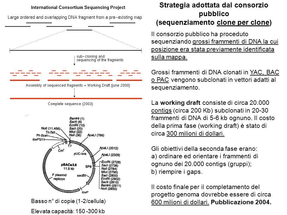 Strategia adottata dal consorzio pubblico (sequenziamento clone per clone) Il consorzio pubblico ha proceduto sequenziando grossi frammenti di DNA la