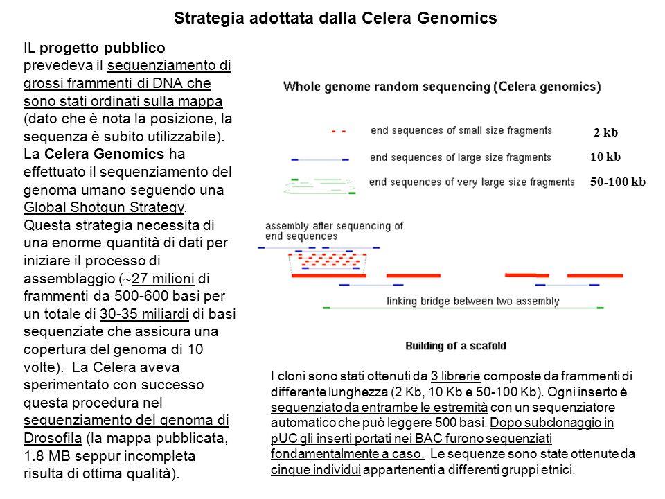 Strategia adottata dalla Celera Genomics IL progetto pubblico prevedeva il sequenziamento di grossi frammenti di DNA che sono stati ordinati sulla map
