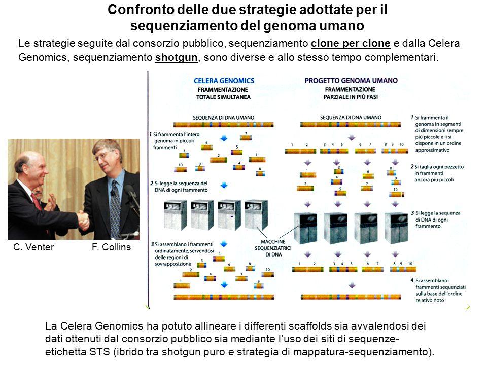 Confronto delle due strategie adottate per il sequenziamento del genoma umano Le strategie seguite dal consorzio pubblico, sequenziamento clone per cl