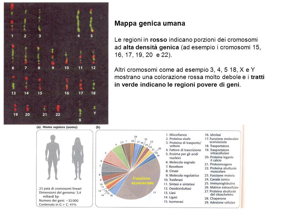 Funzione sconosciute Mappa genica umana Le regioni in rosso indicano porzioni dei cromosomi ad alta densità genica (ad esempio i cromosomi 15, 16, 17,