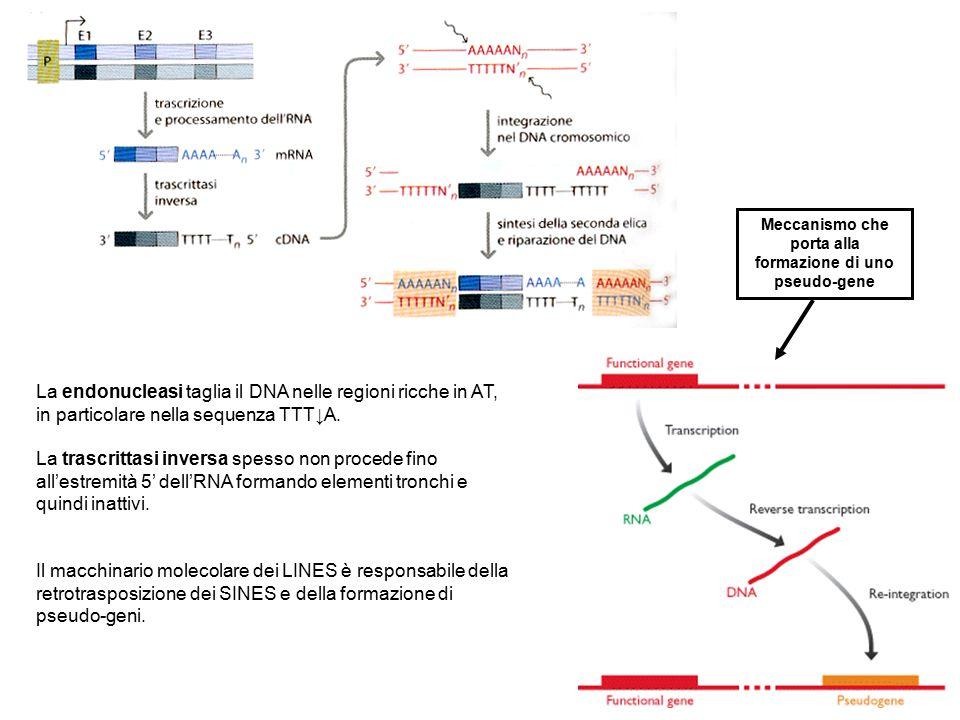 Meccanismo che porta alla formazione di uno pseudo-gene La endonucleasi taglia il DNA nelle regioni ricche in AT, in particolare nella sequenza TTT↓A.