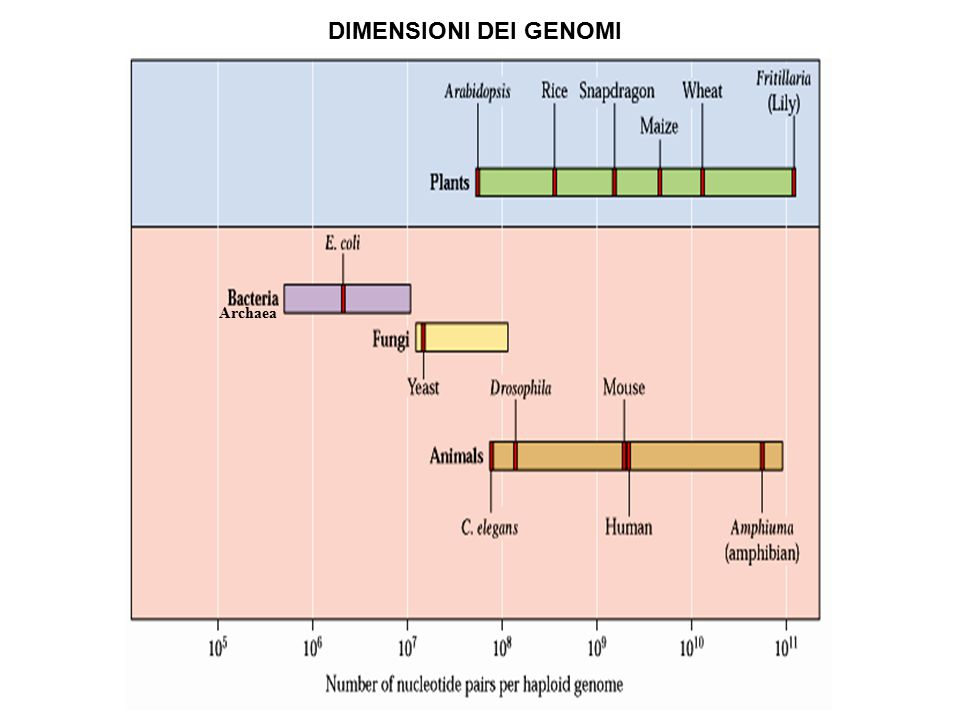 DIMENSIONI DEI GENOMI Archaea