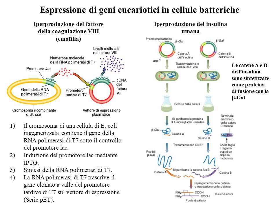 Espressione di geni eucariotici in cellule batteriche Iperproduzione del fattore della coagulazione VIII (emofilia) 1)Il cromosoma di una cellula di E