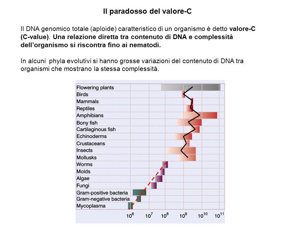 Il paradosso del valore-C Il DNA genomico totale (aploide) caratteristico di un organismo è detto valore-C (C-value). Una relazione diretta tra conten