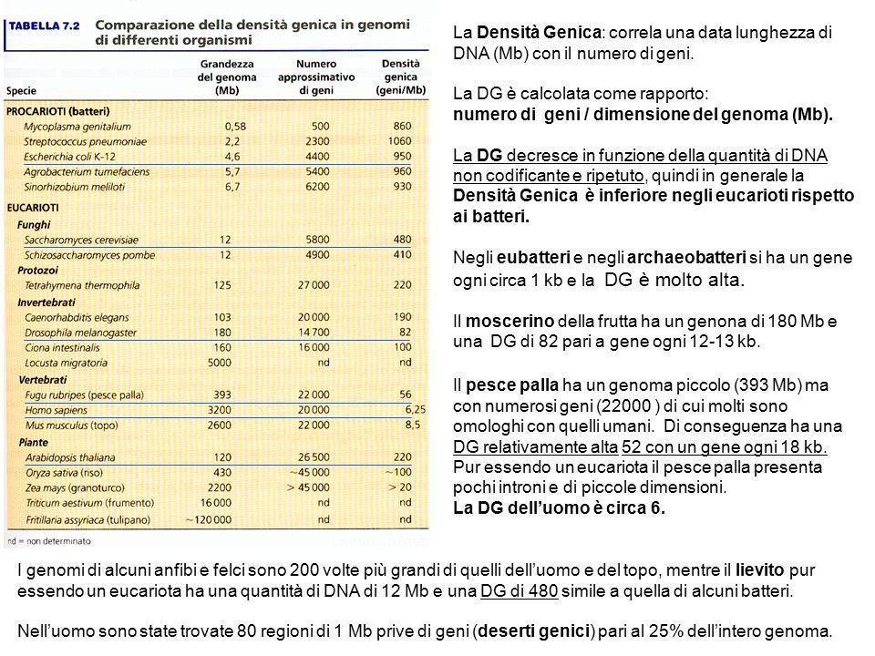 La Densità Genica: correla una data lunghezza di DNA (Mb) con il numero di geni. La DG è calcolata come rapporto: numero di geni / dimensione del geno