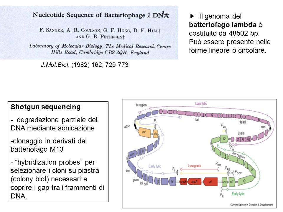  Il genoma del batteriofago lambda è costituito da 48502 bp. Può essere presente nelle forme lineare o circolare. J.Mol.Biol. (1982) 162, 729-773 Sho