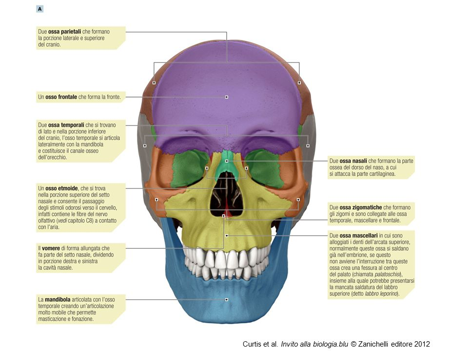Curtis et al. Invito alla biologia.blu © Zanichelli editore 2012