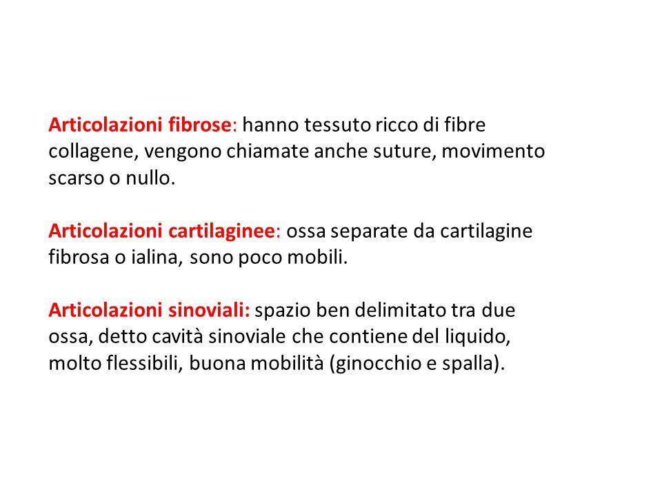 Articolazioni fibrose: hanno tessuto ricco di fibre collagene, vengono chiamate anche suture, movimento scarso o nullo.