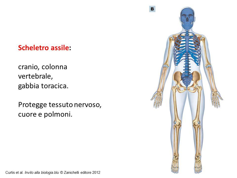 Scheletro assile: cranio, colonna vertebrale, gabbia toracica.