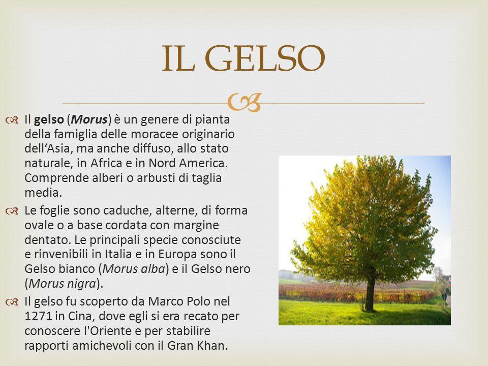  IL GELSO  Il gelso (Morus) è un genere di pianta della famiglia delle moracee originario dell'Asia, ma anche diffuso, allo stato naturale, in Afric
