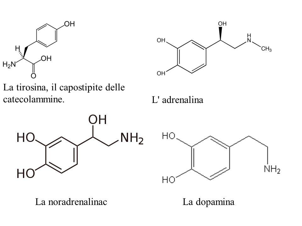 La tirosina, il capostipite delle catecolammine. L adrenalina La noradrenalinacLa dopamina