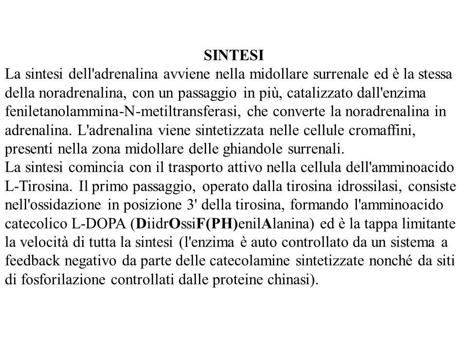 SINTESI La sintesi dell'adrenalina avviene nella midollare surrenale ed è la stessa della noradrenalina, con un passaggio in più, catalizzato dall'enz