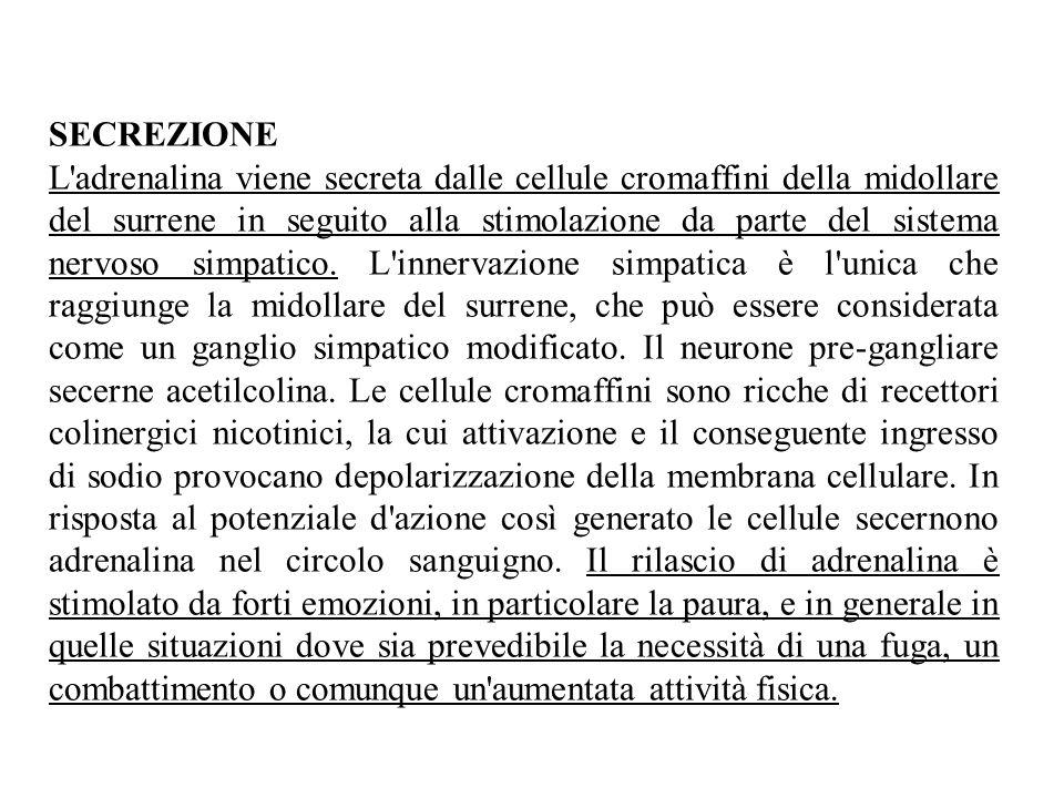 SECREZIONE L adrenalina viene secreta dalle cellule cromaffini della midollare del surrene in seguito alla stimolazione da parte del sistema nervoso simpatico.