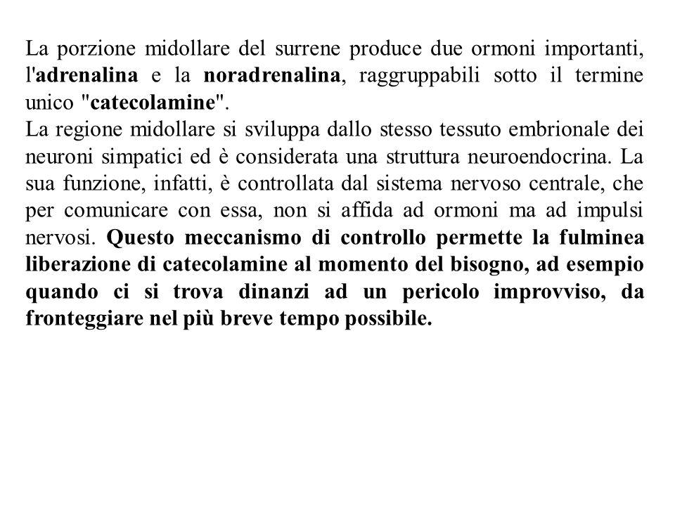 La porzione midollare del surrene produce due ormoni importanti, l adrenalina e la noradrenalina, raggruppabili sotto il termine unico catecolamine .