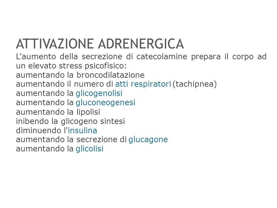 ATTIVAZIONE ADRENERGICA L'aumento della secrezione di catecolamine prepara il corpo ad un elevato stress psicofisico: aumentando la broncodilatazione