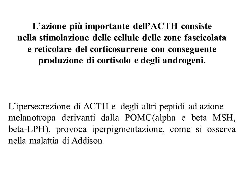 L'azione più importante dell'ACTH consiste nella stimolazione delle cellule delle zone fascicolata e reticolare del corticosurrene con conseguente produzione di cortisolo e degli androgeni.