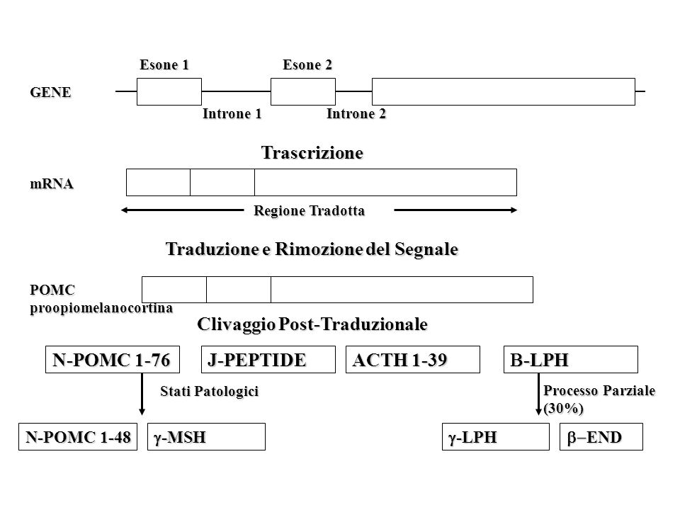 GENE Esone 1 Introne 1 Esone 2 Introne 2 Traduzione e Rimozione del Segnale mRNA Regione Tradotta Trascrizione POMCproopiomelanocortina Clivaggio Post-Traduzionale N-POMC 1-76 J-PEPTIDE ACTH 1-39  -LPH N-POMC 1-48  -MSH  -LPH  END Stati Patologici Processo Parziale (30%)