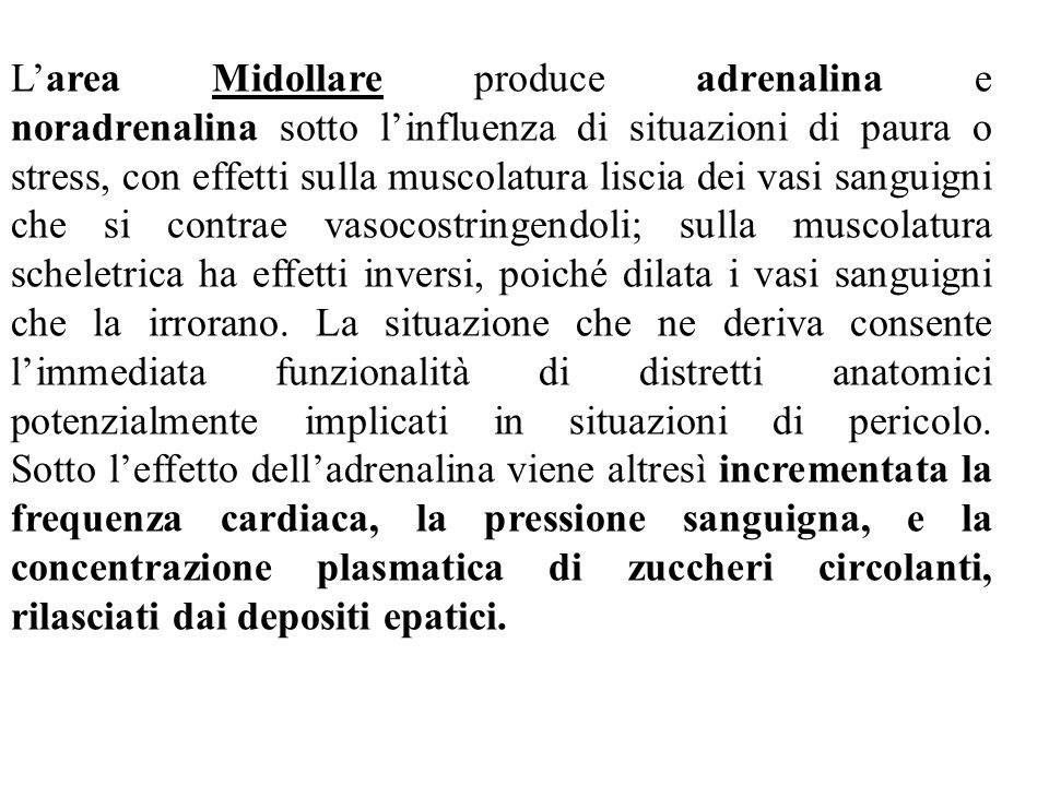 L'area Midollare produce adrenalina e noradrenalina sotto l'influenza di situazioni di paura o stress, con effetti sulla muscolatura liscia dei vasi s