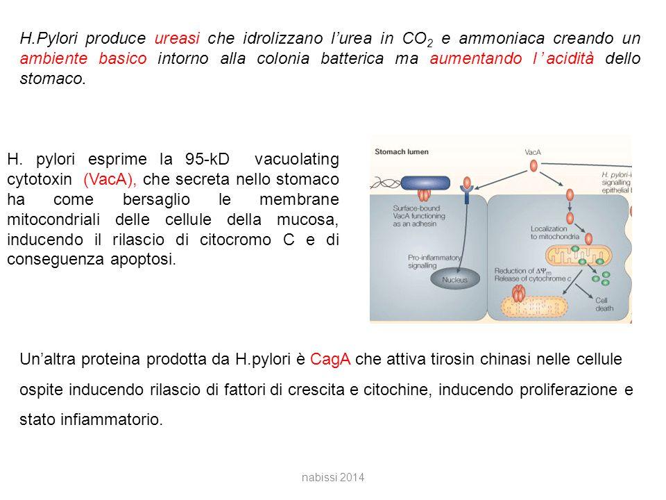 H.Pylori produce ureasi che idrolizzano l'urea in CO 2 e ammoniaca creando un ambiente basico intorno alla colonia batterica ma aumentando l'acidità dello stomaco.