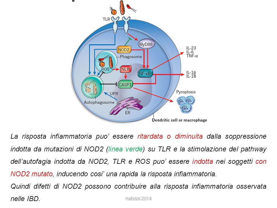 La risposta infiammatoria puo' essere ritardata o diminuita dalla soppressione indotta da mutazioni di NOD2 (linea verde) su TLR e la stimolazione del pathway dell'autofagia indotta da NOD2, TLR e ROS puo' essere indotta nei soggetti con NOD2 mutato, inducendo cosi' una rapida la risposta infiammatoria.