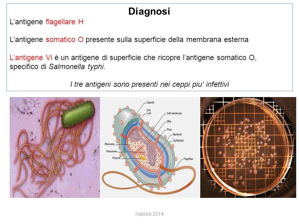 nabissi 2014 Diagnosi L'antigene flagellare H L'antigene somatico O presente sulla superficie della membrana esterna L'antigene Vi è un antigene di superficie che ricopre l'antigene somatico O, specifico di Salmonella typhi.