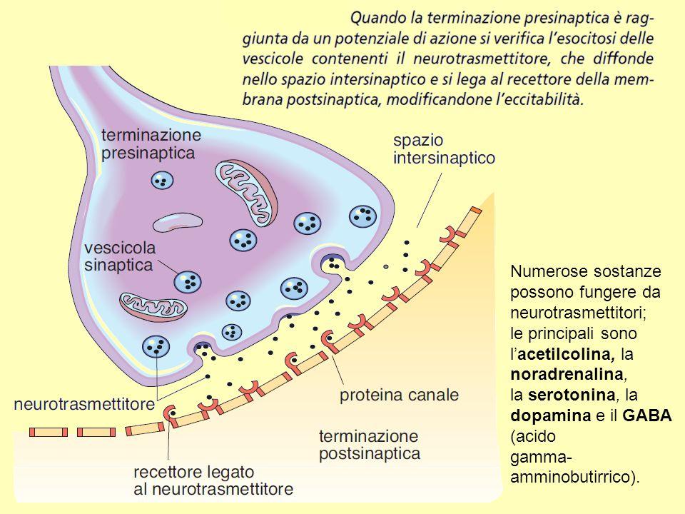 Numerose sostanze possono fungere da neurotrasmettitori; le principali sono l'acetilcolina, la noradrenalina, la serotonina, la dopamina e il GABA (ac
