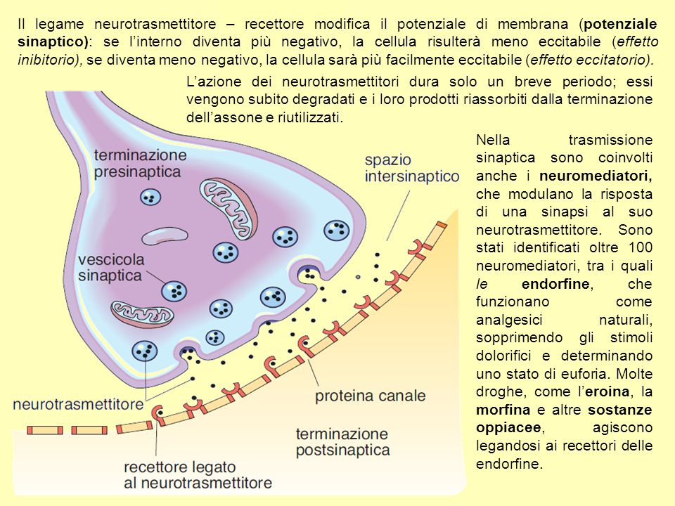 L'azione dei neurotrasmettitori dura solo un breve periodo; essi vengono subito degradati e i loro prodotti riassorbiti dalla terminazione dell'assone